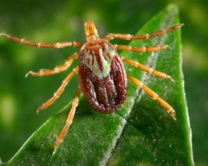Tick ID, CDC Gulf Coast tick photo