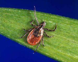 Blacklegged tick ID-CDC photo