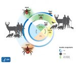 Life cycle of tick