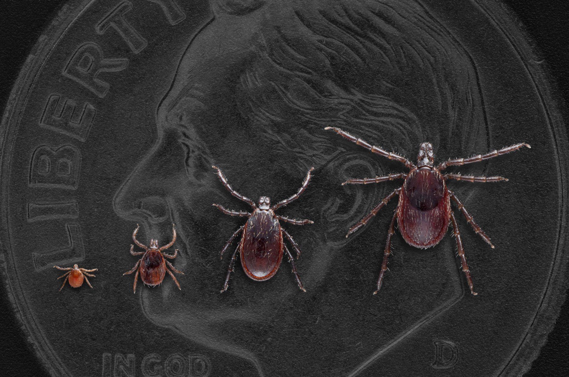 Western blacklegged tick Life satges-CDC photo