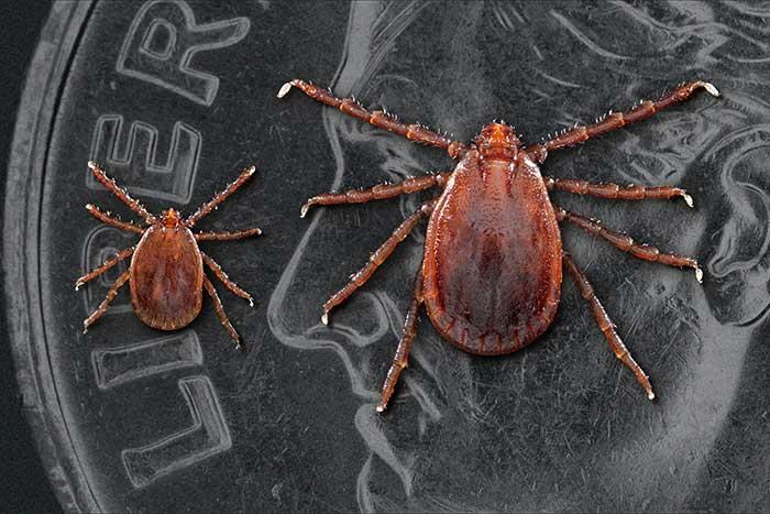Tick ID, CDC Photo-Longhorned tick