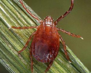 Tick ID, CDC photo H. longicornis