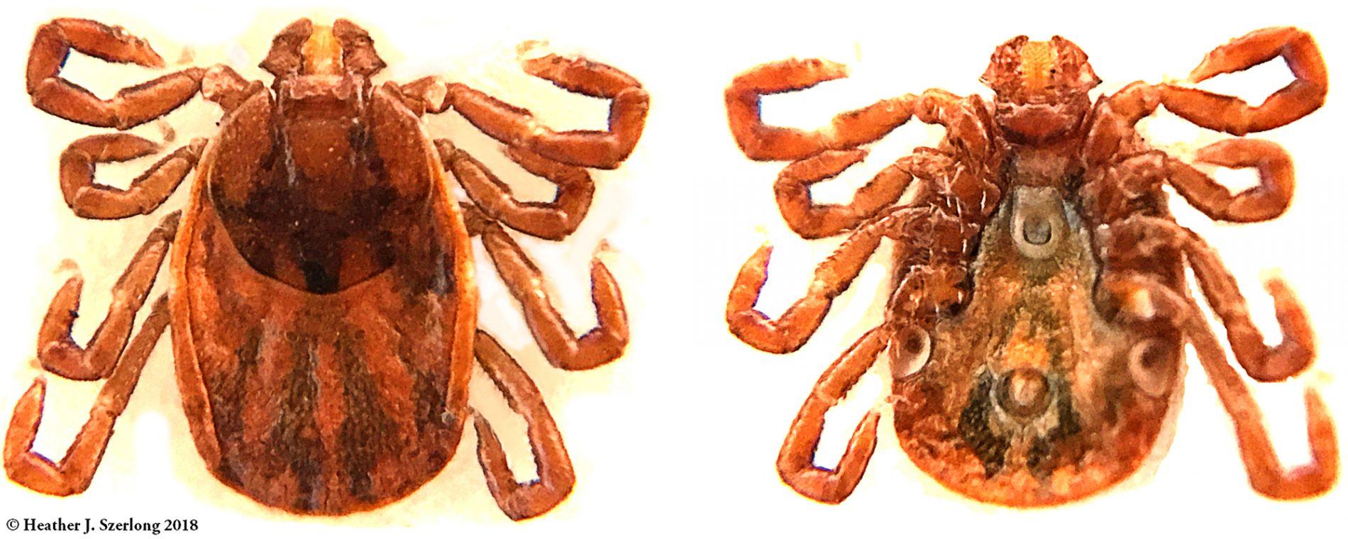 Tick ID, photo of H.longicornis by Ticknology